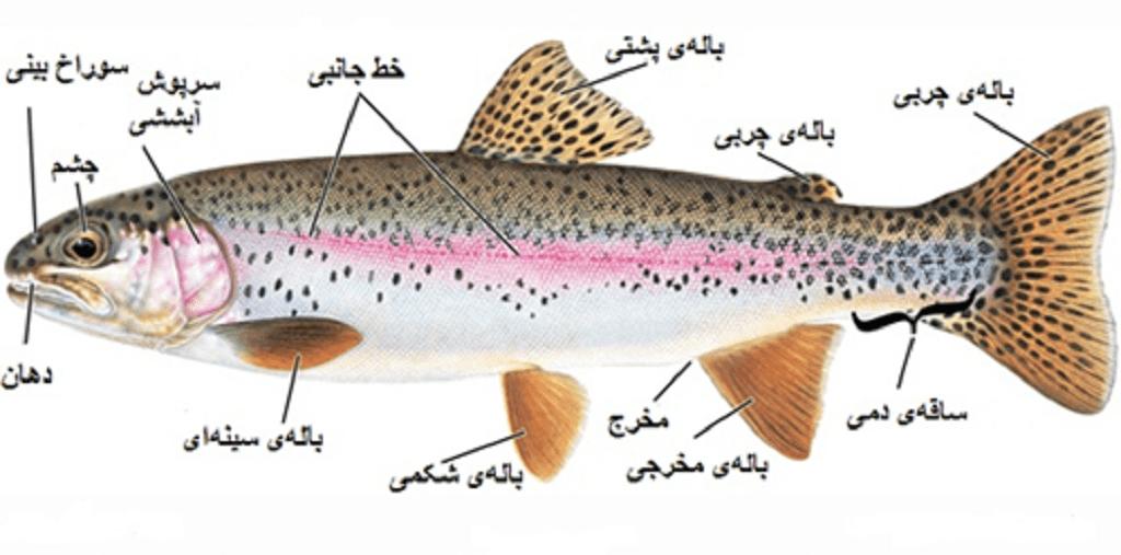 اندام های حرکتی ماهی