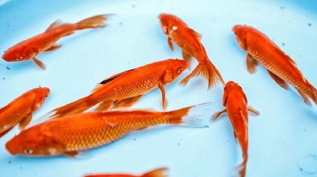 نگه داری ماهی قرمز