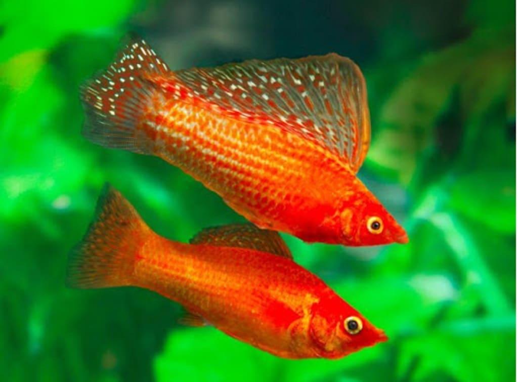 ماهی زینتی