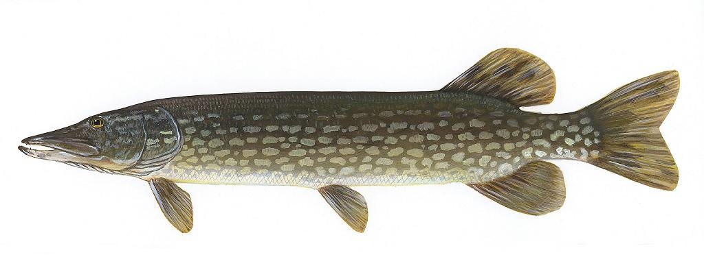 انواع ماهی شمال