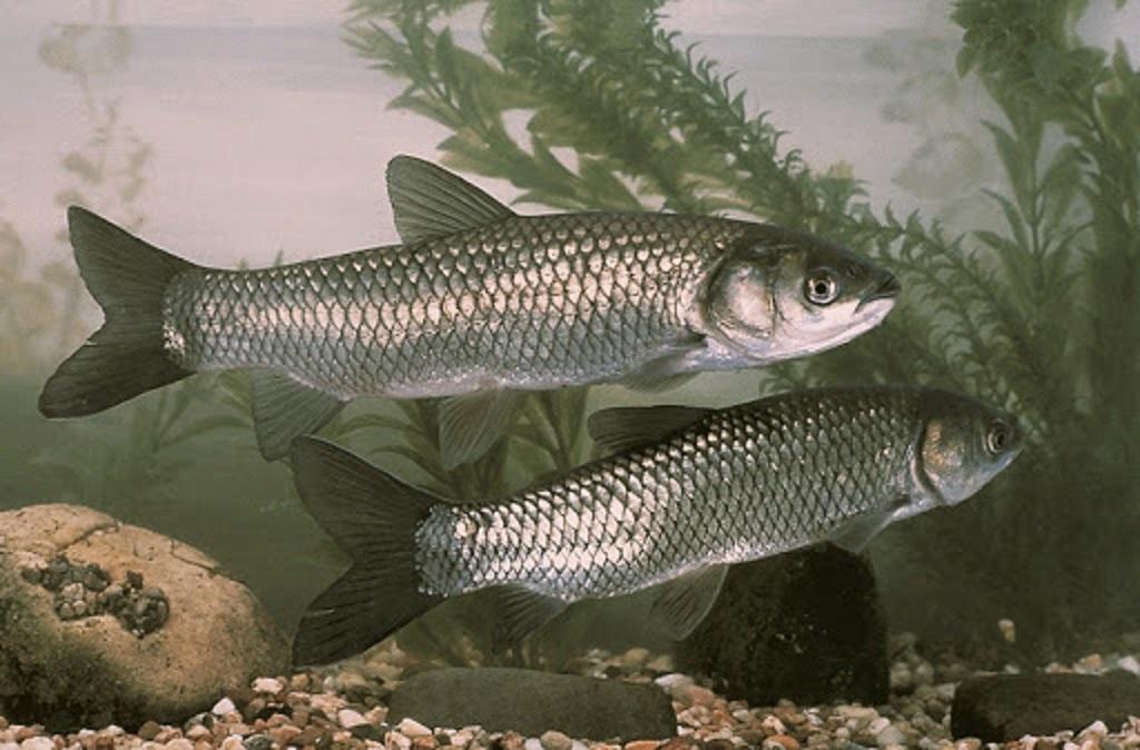 شرایط پرورش ماهی آمور