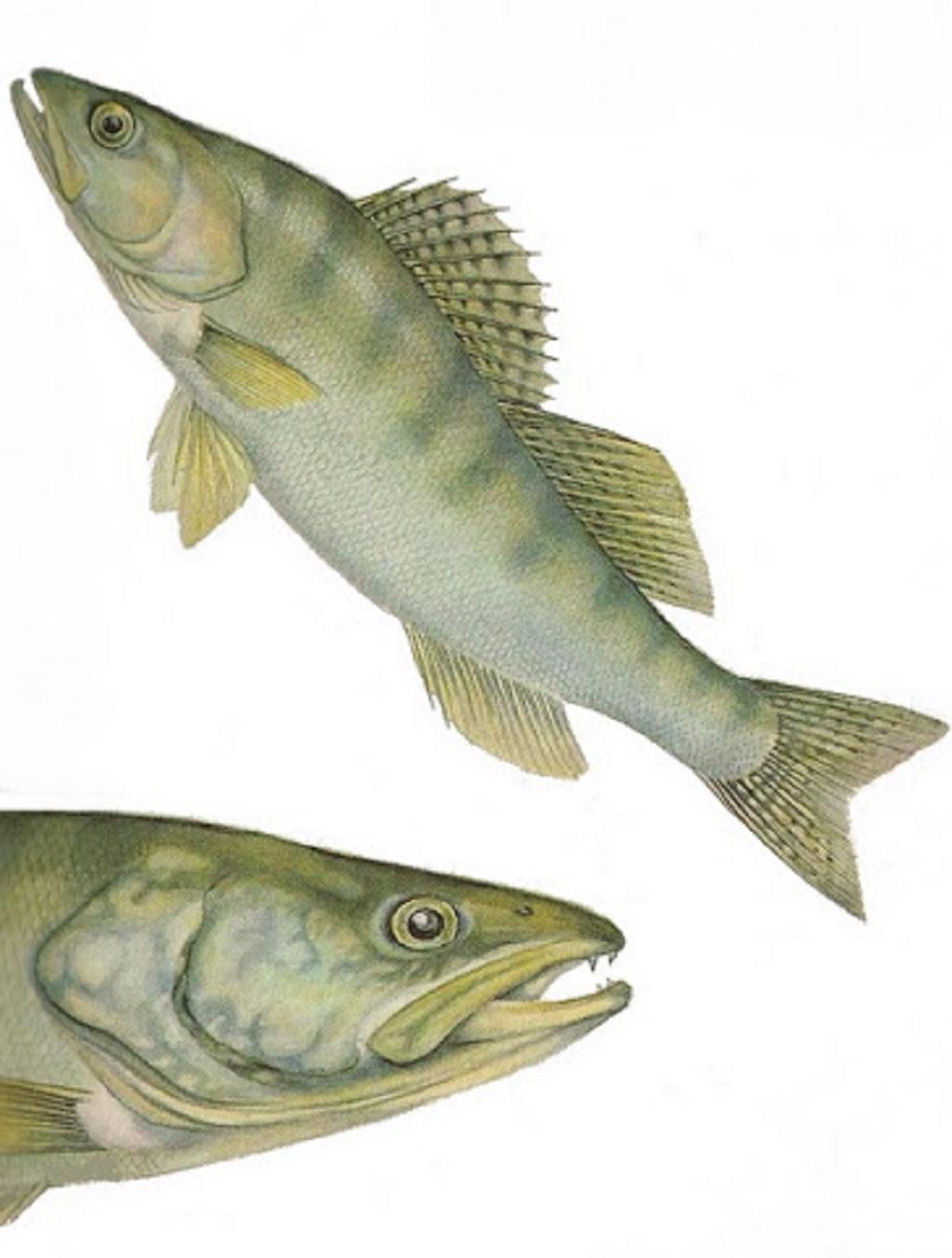 ویژگی های ماهی سوف