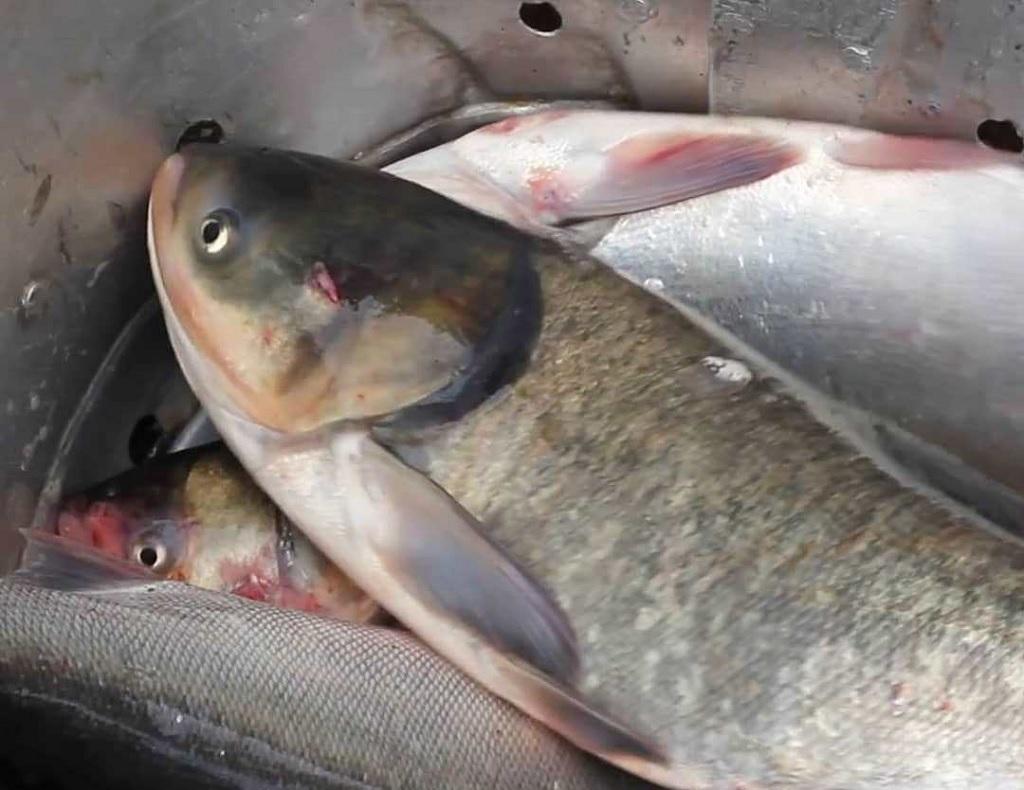 پرورش ماهی بیگهد