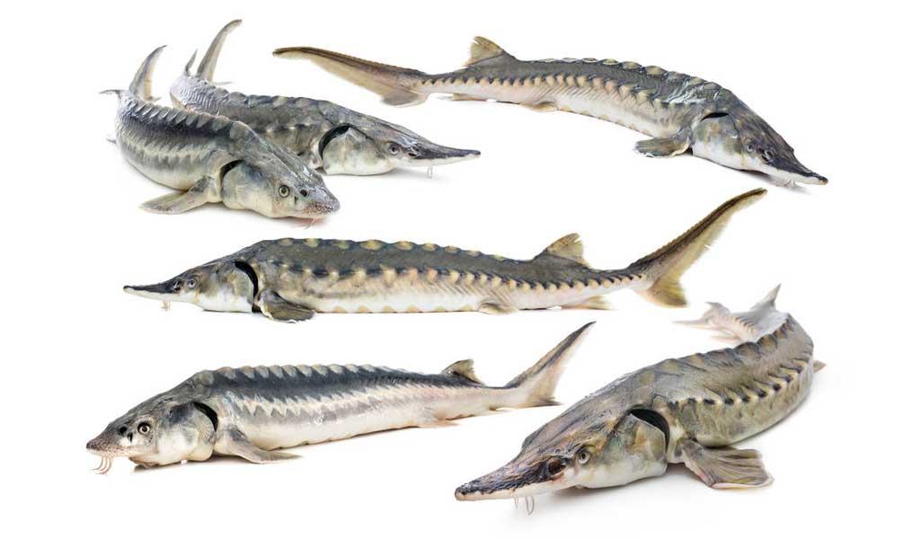 خرید آنلاین ماهی اوزون برون